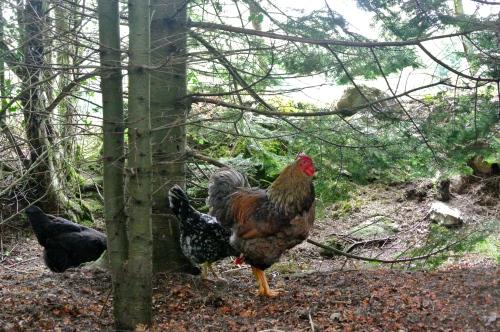 Hens at Grenan