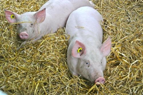 pigs at greenan